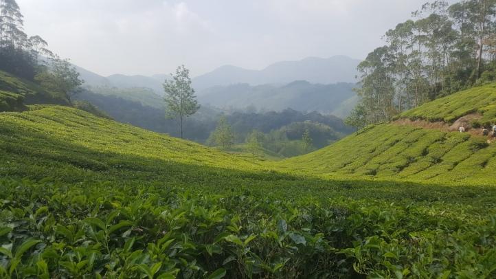 Tea plantations for miles!