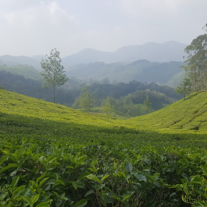 Tea plantations for miles!