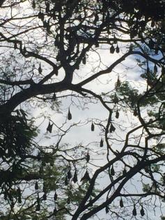 Hundreds of bats in The Botanical Gardens.